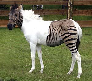 Zebra + cavalo = Zebralo